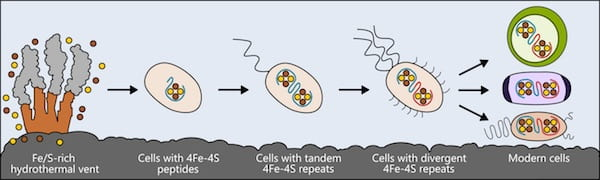 Life may have arisen near hydrothermal vents rich in iron and sulfur. The earliest cells incorporated these elements into small peptides, which became the first and simplest ferredoxins — proteins that shuttle electrons within the cell — to support metabolism. As cells evolved, ferredoxins mutated into more complex forms. The ferredoxins in modern bacteria, plant and animal cells are all derived from that simple ancestor. Illustration by Ian Campbell